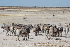 Landscape Etosha National Park with zebras Royalty Free Stock Images