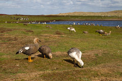 Landscape Falkland Islands with goose Royalty Free Stock Photo