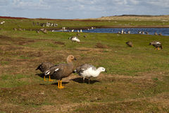 Landscape Falkland Islands with upland goose Royalty Free Stock Image