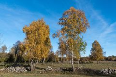 Landscape in fall season colors. With bright sparkling birches Stock Photos