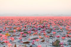 Landscape of famous red lotus sea in Thailand stock photo