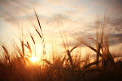 Landscape fantastic sunset on the wheat field Royalty Free Stock Images