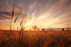 Landscape fantastic sunset on the wheat field Royalty Free Stock Image