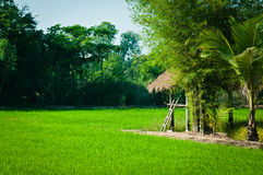 Landscape of farm rice Stock Photography
