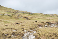 Landscape on the Faroe Islands with arctic skua Stock Photo