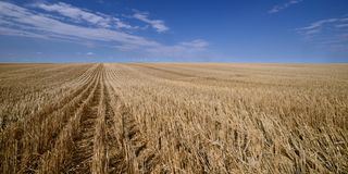 Harvested Grain Field Canadian Prairies stock photo