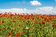 Field with blooming poppies. Landscape Royalty Free Stock Photo