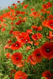 Field of blooming red poppies stock photography