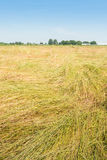 Landscape with a field with blown down grass for the grass seed Royalty Free Stock Photos