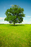 Landscape - field with oak Royalty Free Stock Photography