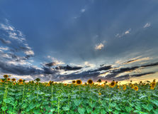 The landscape of the field with sunflower Stock Photo