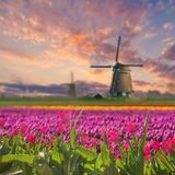 Landscape with Field of Tulip Royalty Free Stock Photos