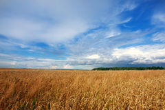 Landscape with field of wheat Stock Photos