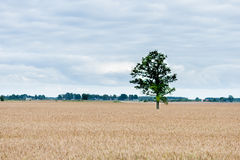 Landscape with field of Wheat and Lonely tree and forest in background Stock Image