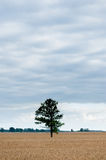 Landscape with field of Wheat and Lonely tree and forest in background Stock Images