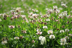 Landscape field with  white flowers Royalty Free Stock Photography