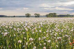 Landscape field of white poppies Stock Image