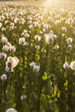 Landscape field of white poppies at sunset Royalty Free Stock Image