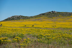 Landscape field of yellow flowers on a hill top with deep blue sky along the West Coast of South Africa Royalty Free Stock Photo