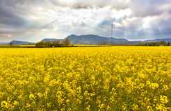 Landscape with a field of yellow flowers. Spring landscape with a field of yellow flowers on a cloudy sky Stock Image