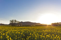 Landscape with a field of yellow flowers at sunset Stock Images