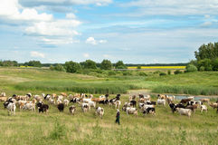 Landscape with fields and grazing cows Stock Photo