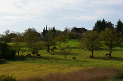 Landscape with fields and grazing cows Royalty Free Stock Image