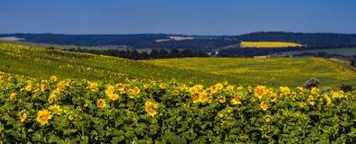 Landscape with fields of sunflowers, corn overlooking a green forest. Cherkasy region, Ukraine