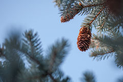 Landscape with a fir cone and blue sky Stock Images