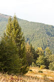 Landscape with a fir-tree Stock Images