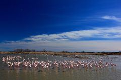 Landscape with flamingos. Flock of  Greater Flamingo, Phoenicopterus ruber, nice pink big bird, dancing in the water, animal in th Royalty Free Stock Photo