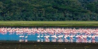 Landscape with flamingos. Pink birds. Nakuru, Kenya Royalty Free Stock Images