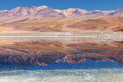 Landscape of flamingos and volcanoes in the Hedionda lake, Bolivia Royalty Free Stock Images