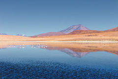 Landscape of flamingos and volcanoes in the Hedionda lake, Bolivia Royalty Free Stock Photography