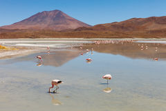 Landscape of flamingos and volcanoes in the Hedionda stinking lake lagoon, Bolivia Royalty Free Stock Images