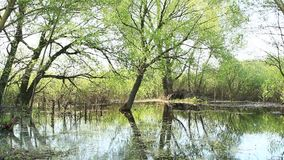 Landscape with flooding in marshland in spring. Spring view. Water scenery. Flooding with pussy-willow and bushes. Nature blooming. Blossoming of trees in stock footage