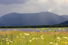 Landscape with flower meadow stock images