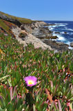 Landscape with flower and Pacific Ocean at Garrapata State Park Stock Photography