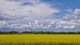Landscape with flowering buckwheat field and fluffy clouds Royalty Free Stock Photos