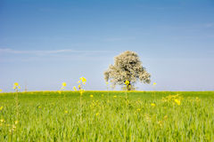 Landscape with a flowering tree Stock Images