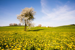 Landscape with a flowering tree Royalty Free Stock Photo