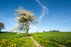 Landscape with a flowering tree. At spring Royalty Free Stock Photography
