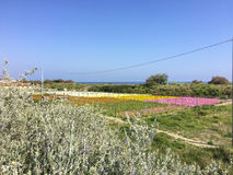 Landscape with flowers growing on the sea. In the Ligurian Riviera of the West in Italy Royalty Free Stock Image