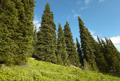 Landscape with forest in British Columbia. Mount Revelstoke. Can Royalty Free Stock Images