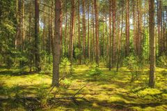 Landscape of the forest. Green summer forest in sunlight. Coniferous trees, moss on the ground. Beautiful view of the summer forest in a sunny day stock images