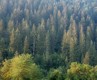 Landscape of forest on hillside of Carpathians mountains, west Ukraine. Firs, pine and larch on the hill. Ukrainian wild. Nature background. Carpathians at stock photos