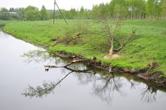 Landscape.  The beavers tumbled down the tree. Royalty Free Stock Photo