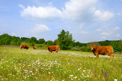Landscape with French Limousin cows. Brown French Limousin cows in fields full of wild Thyme Royalty Free Stock Photo