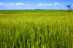 Landscape of fresh green grain and grass Stock Photo