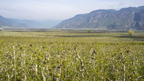 Landscape of fruit plantations in Trentino Alto Adige, Italy. Spring time. Green landscape. Landscape of fruit plantations in Trentino Alto Adige, Sud Tyrol stock image